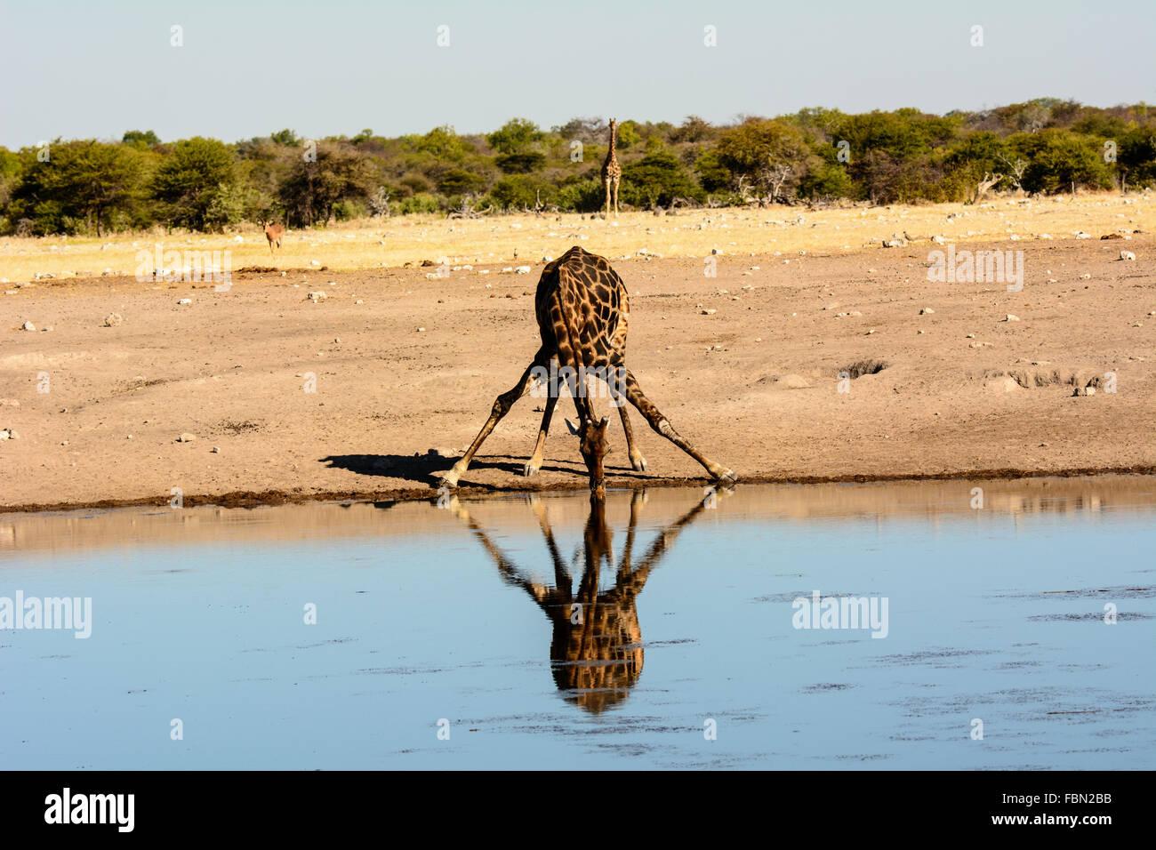 Potable girafe avec les jambes largement écartées et sa réflexion Photo Stock