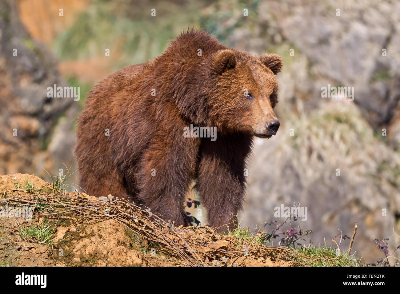 Un brown (ou ours grizzly) dans le Parc Naturel de Cabarceno, Cantabrie, Espagne. Photo Stock