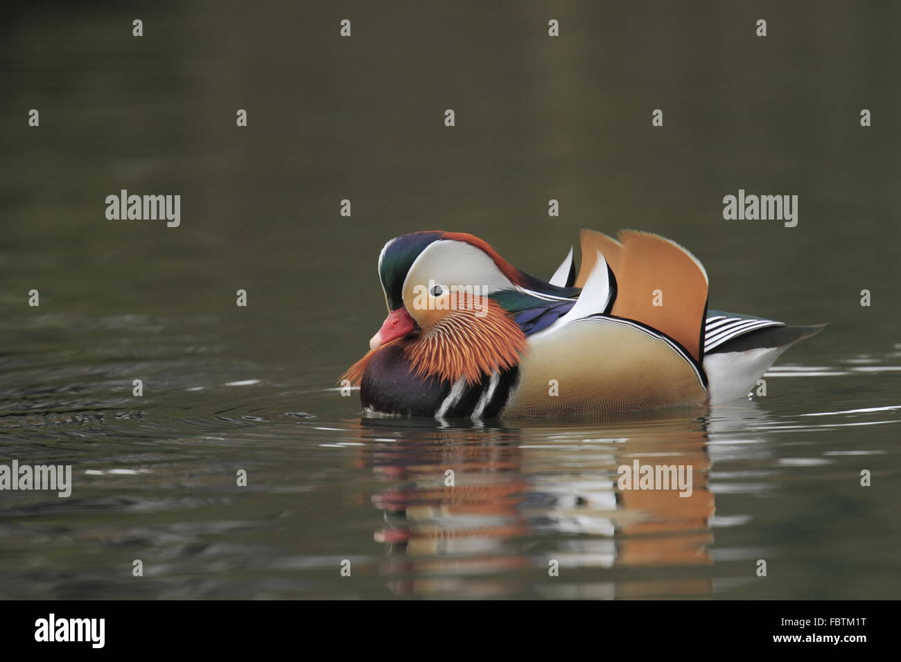 Mandarin, Aix galericulata Photo Stock
