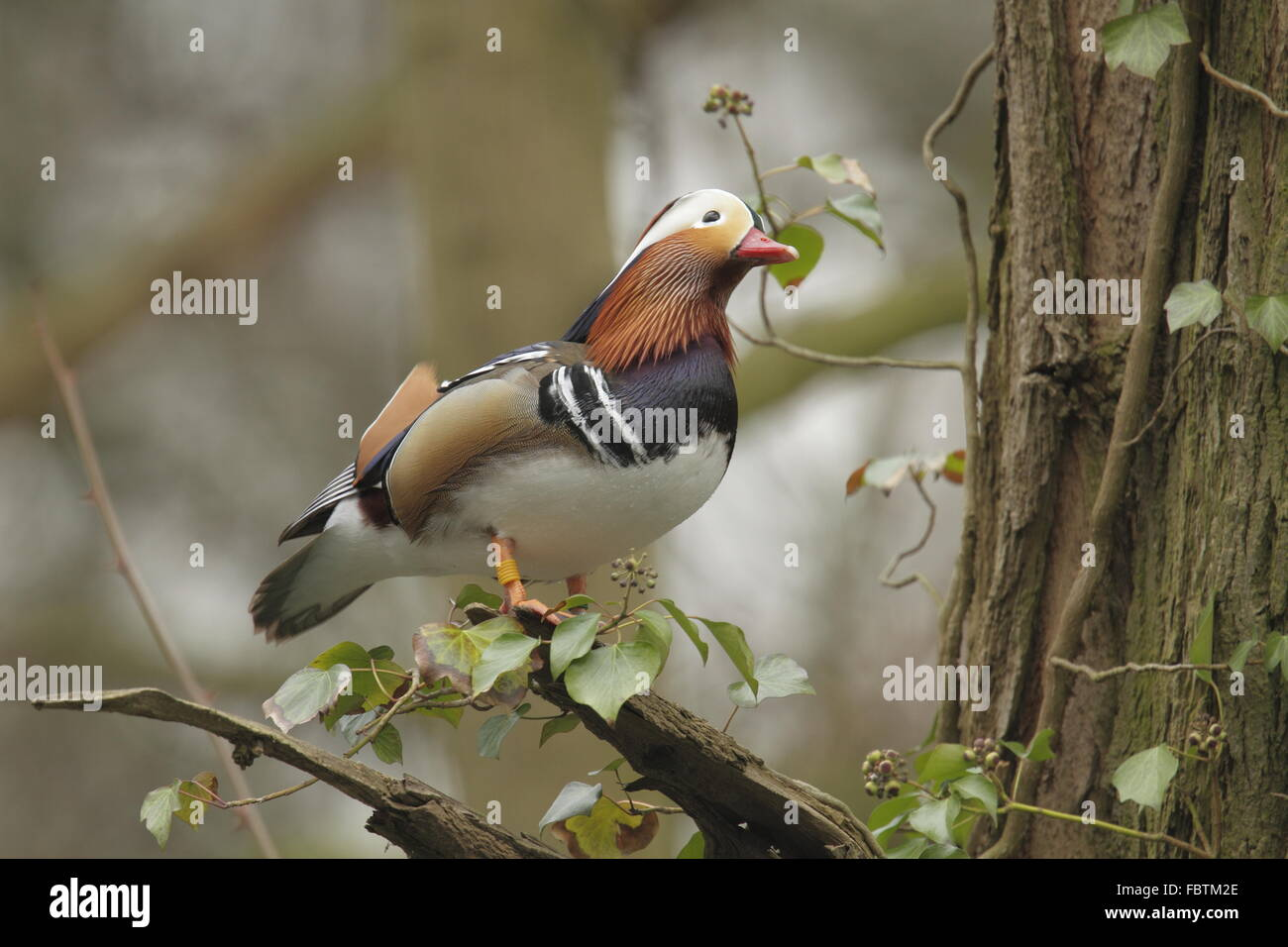 Mandarin, Aix galericulata, Photo Stock