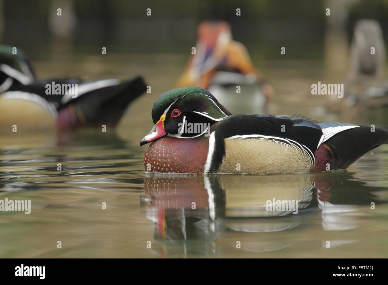Canard branchu, Aix sponsa Photo Stock