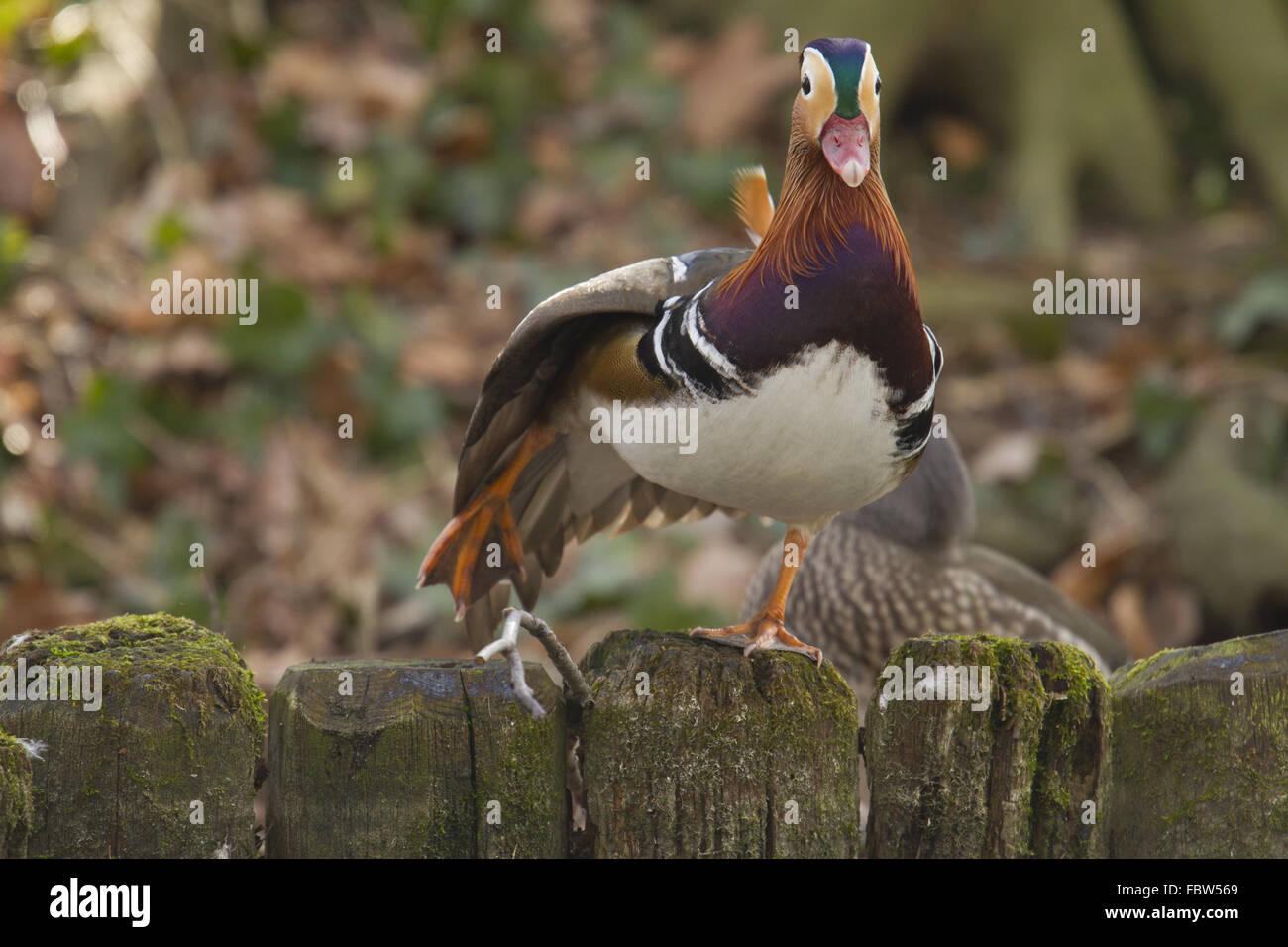 Canard Mandarin Aix galericulata, Photo Stock