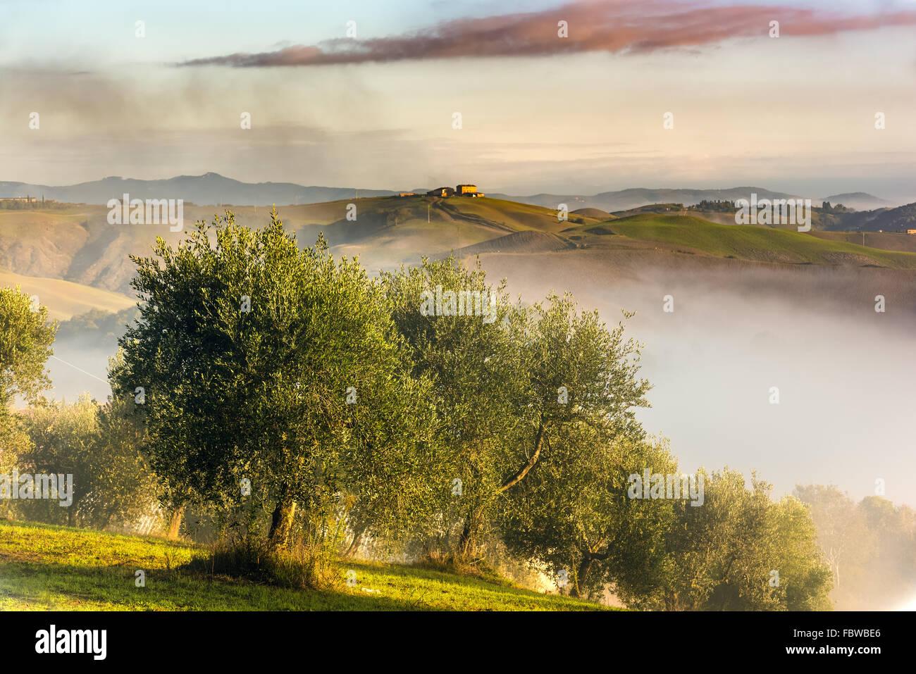 Oliviers dans les collines de Toscane. Près de Asciano, Crete Senesi zone, Italie Photo Stock