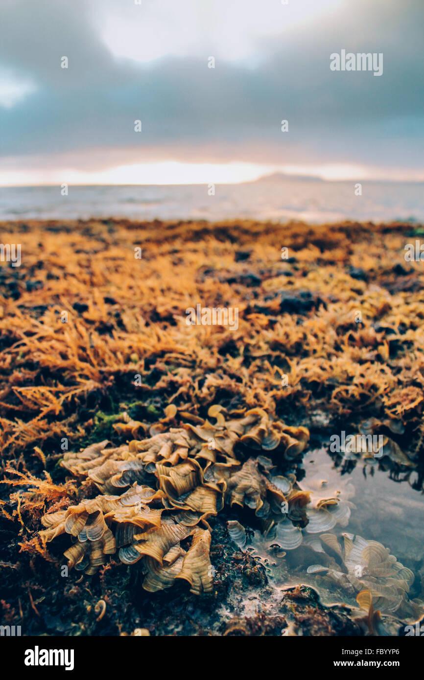 Récif hawaïen exposés à marée basse au coucher du soleil sur Oahu Hawaii USA Portlock. Photo Stock