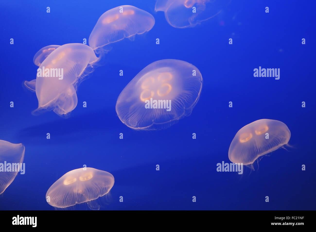 Petit blanc translucide méduses Photo Stock