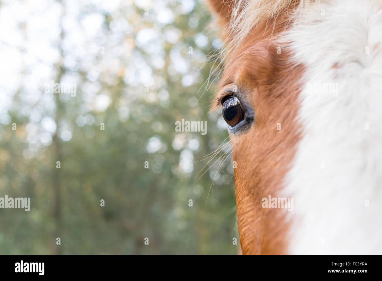 Garder un oeil sur les humains. NOSY BE Un poney New Forest est curieux que je manœuvre pour prendre sa photo. Photo Stock