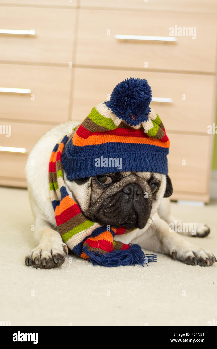 Un Pug dog wearing a winter hat and scarf Photo Stock