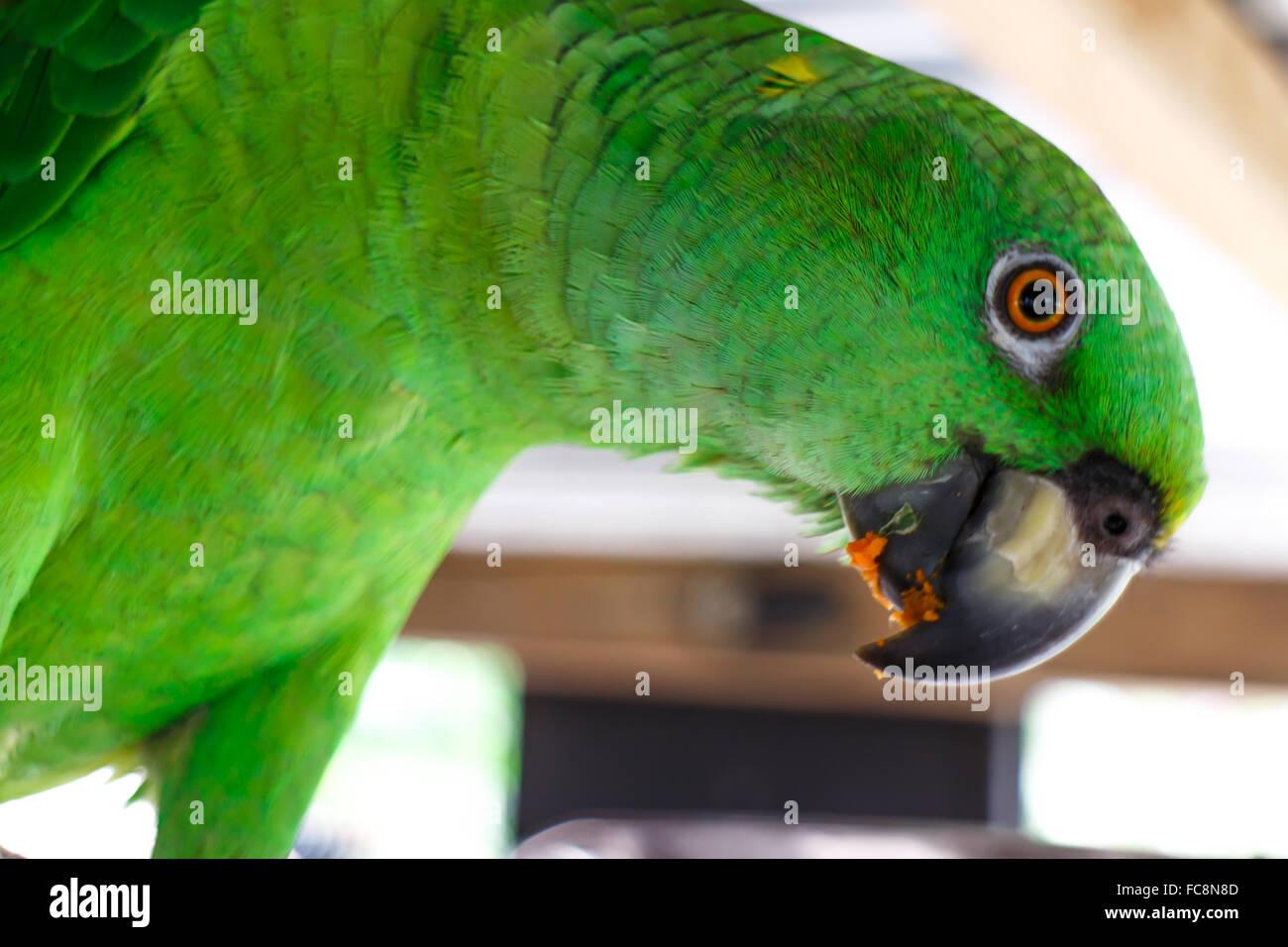 Perroquet vert manger des fruits d23454d3de3