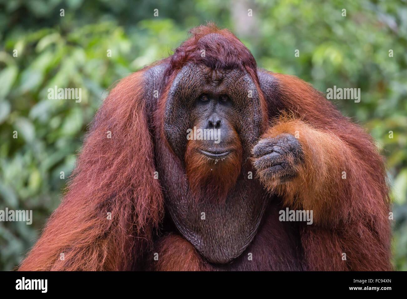 Réintroduit l'orang-outan mâle à bride (Pongo pygmaeus), Camp Leakey, parc national de Tanjung Photo Stock