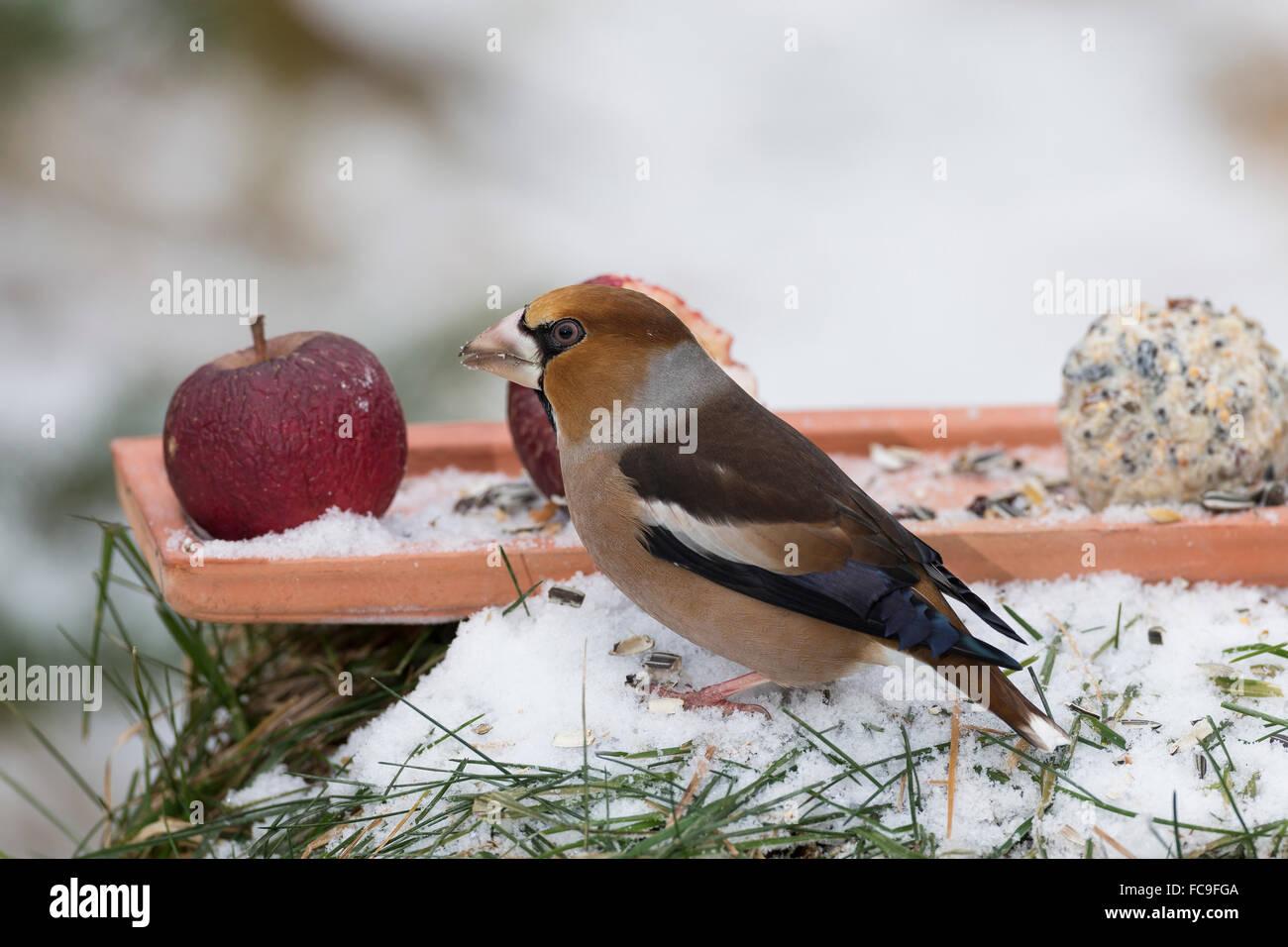 L'alimentation de l'oiseau, Hawfinch, Kernbeißer Kernbeisser Kirschkernbeißer,,,,, Vogelfütterung Photo Stock