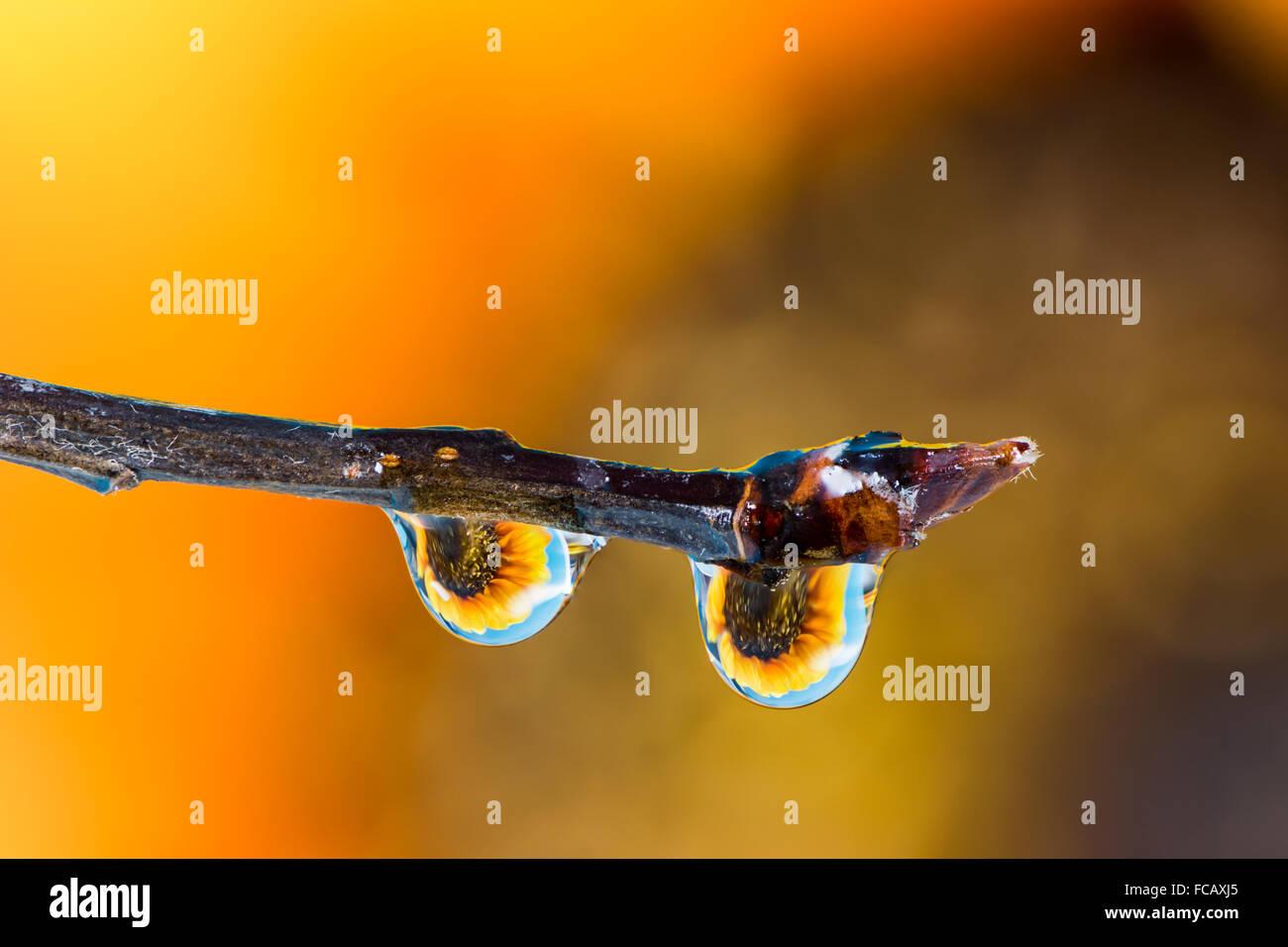 Macro d'une fleur dans la réfraction gouttes de rosée sur une branche Photo Stock