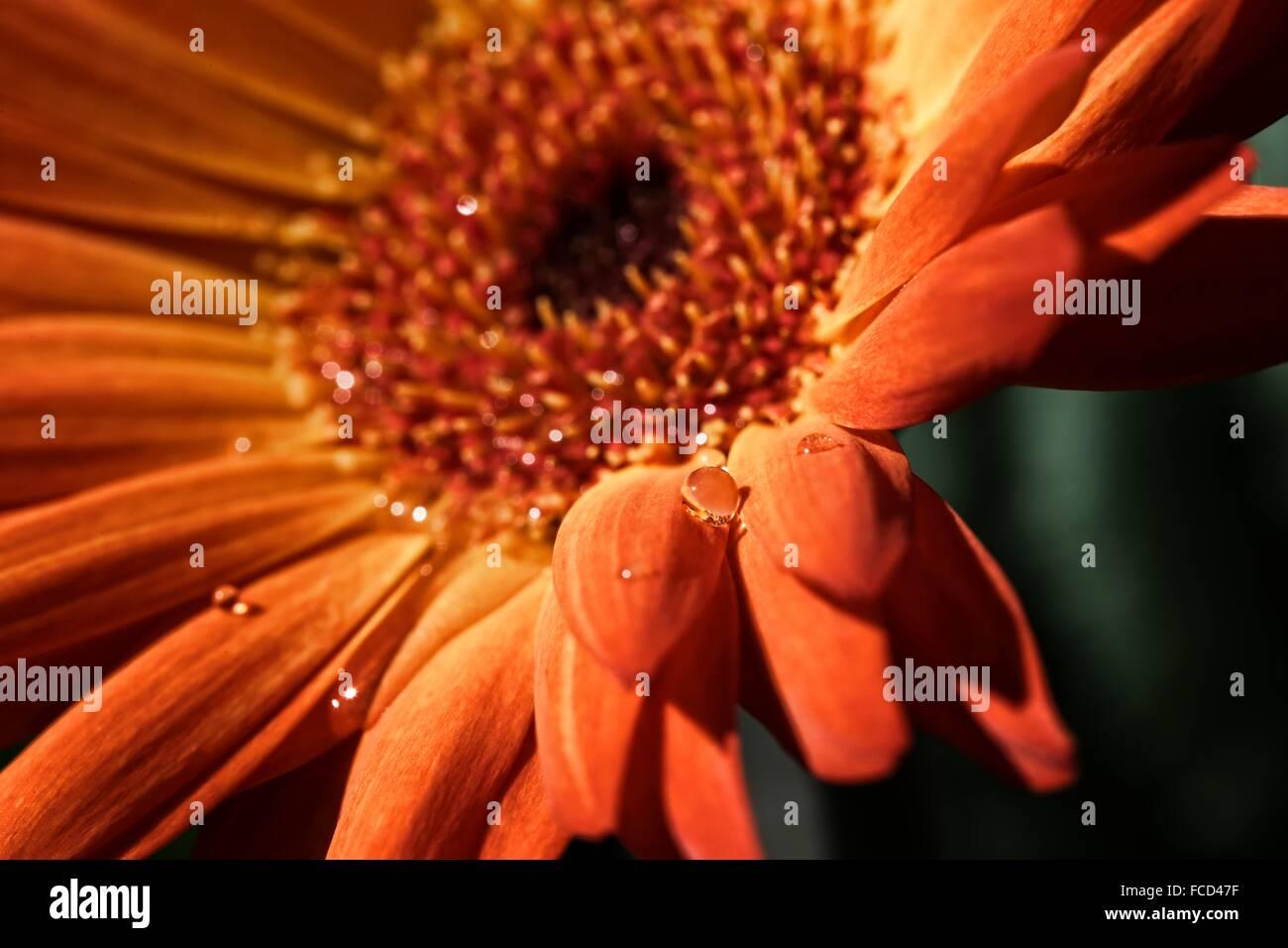 Fleur orange avec de l'eau Gouttes Photo Stock