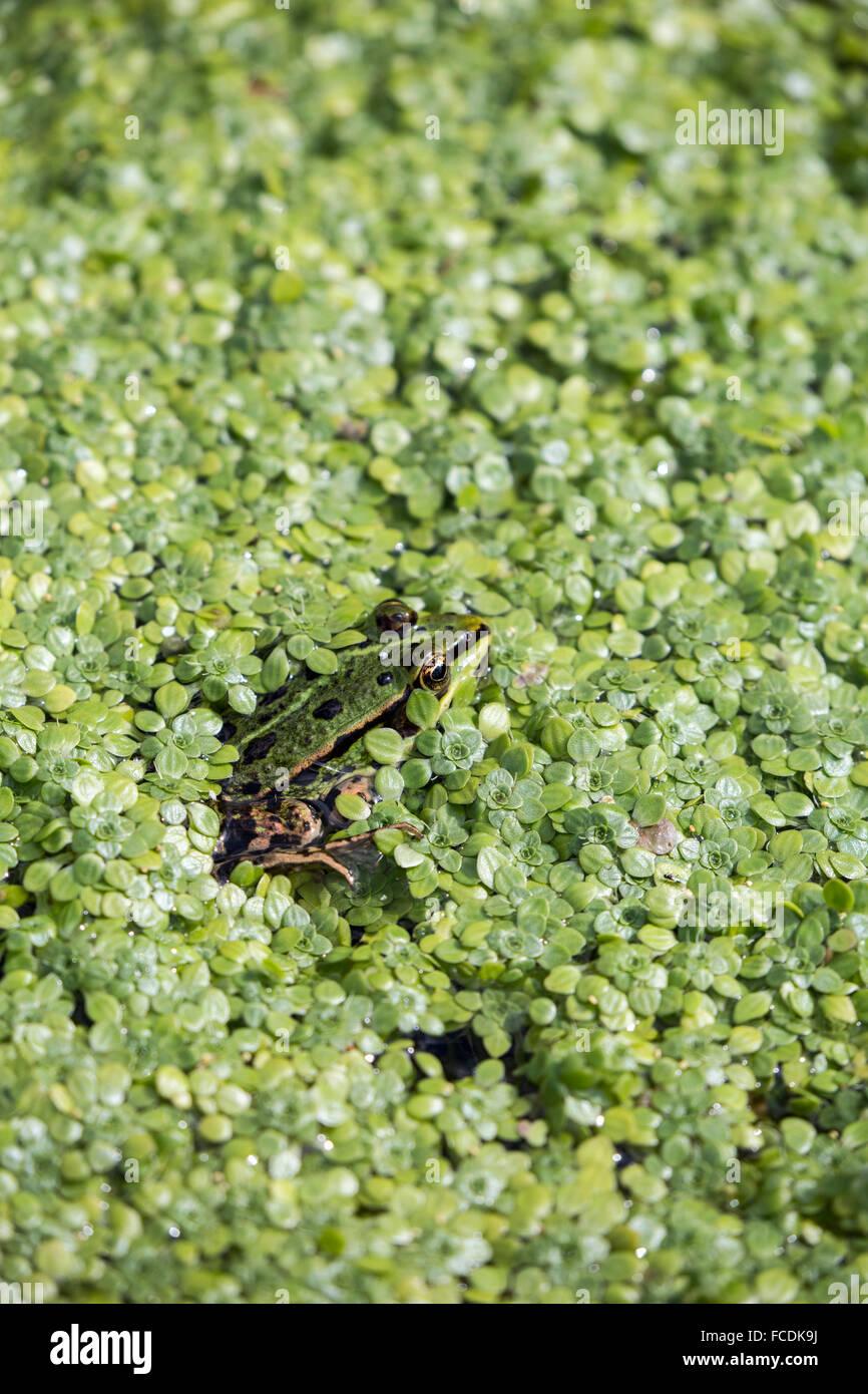 Pays-bas, Naarden, réserve naturelle sur Naardermeer. La grenouille verte dans les fossés. Photo Stock