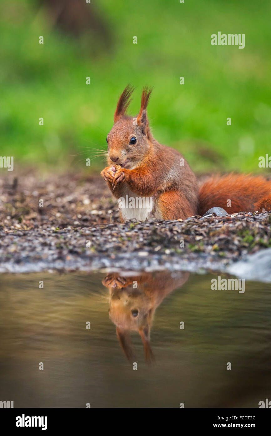 Pays-bas, 's-Graveland, 's-Gravelandse Hilverbeek Buitenplaatsen, domaine rural. Eurasian Écureuil roux (Sciurus vulgaris) Banque D'Images