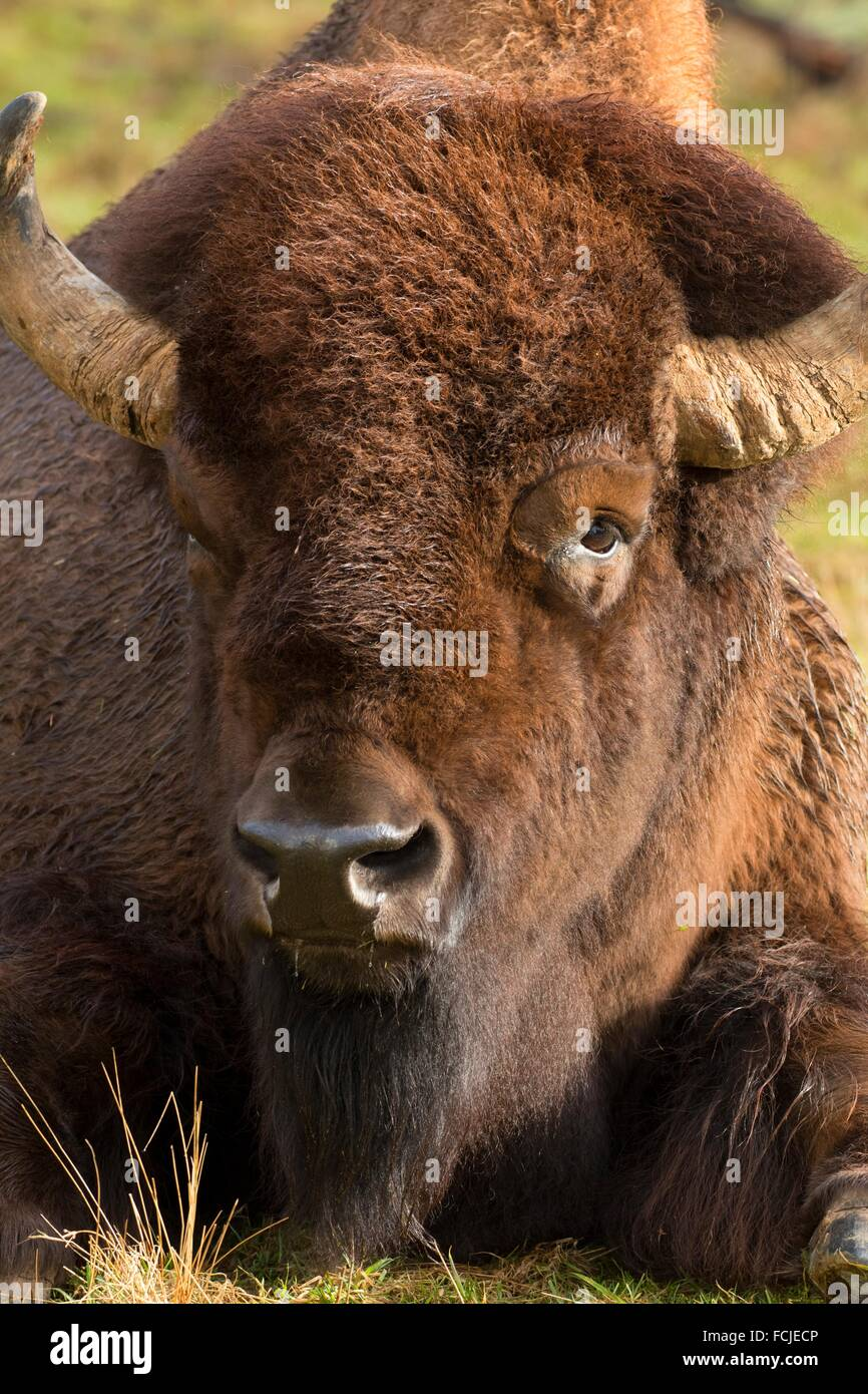 Le bison, Northwest Trek Wildlife Park, Washington. Photo Stock