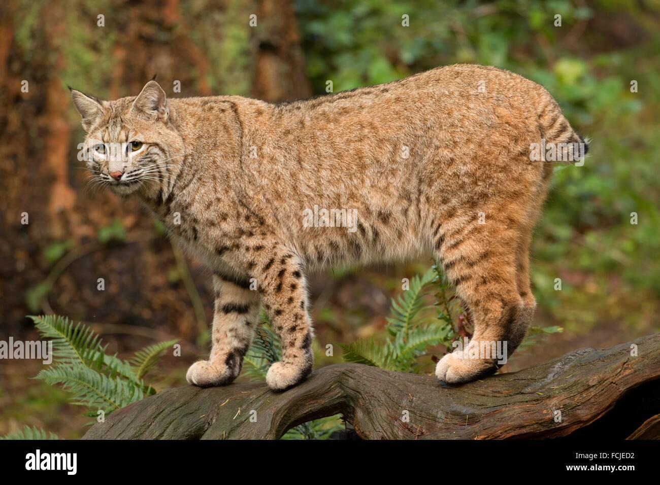 Le Lynx, Northwest Trek Wildlife Park, Washington. Photo Stock
