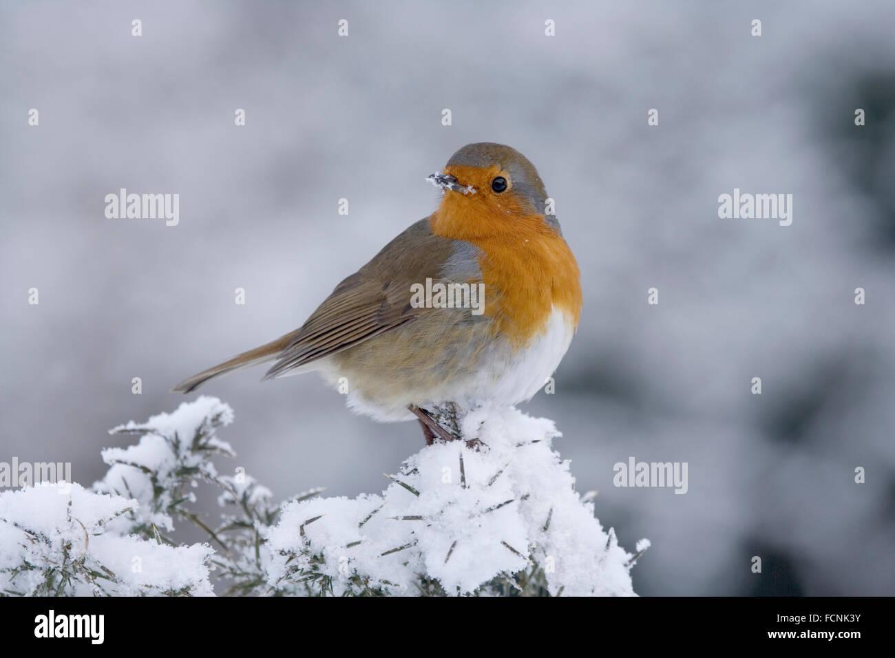 European Robin (Erithacus rubecula aux abords) perchés dans la neige a couvert l'ajonc (Ulex europaeus), Bentley, Banque D'Images