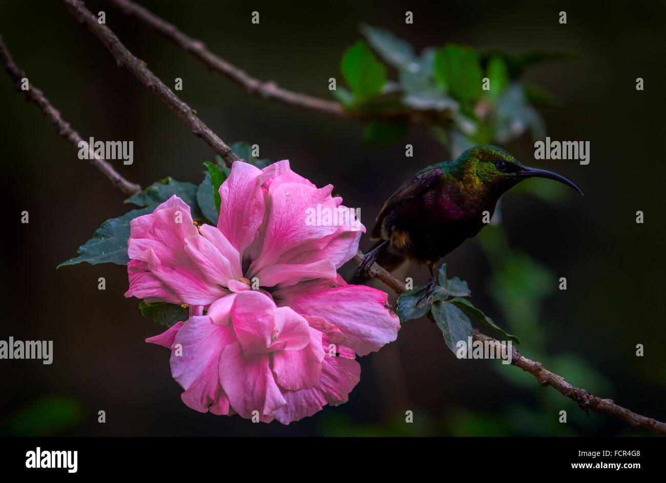 Un oiseau de ronflement assis à côté d'une fleur rose, de l'Éthiopie. Photo Stock