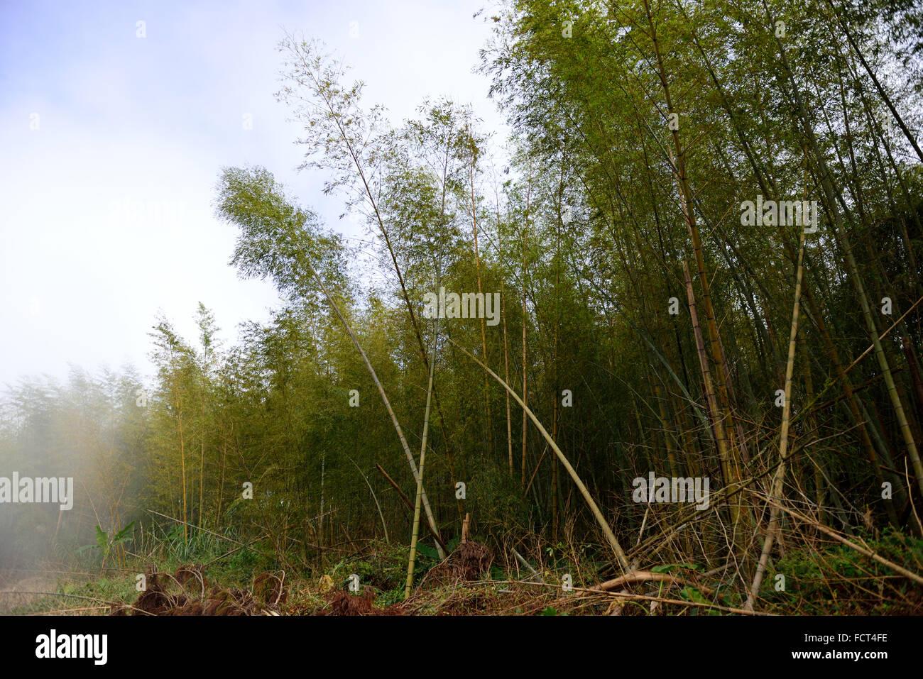 Bamboo grove, aménage des sentiers de montagne à Taiwan Photo Stock
