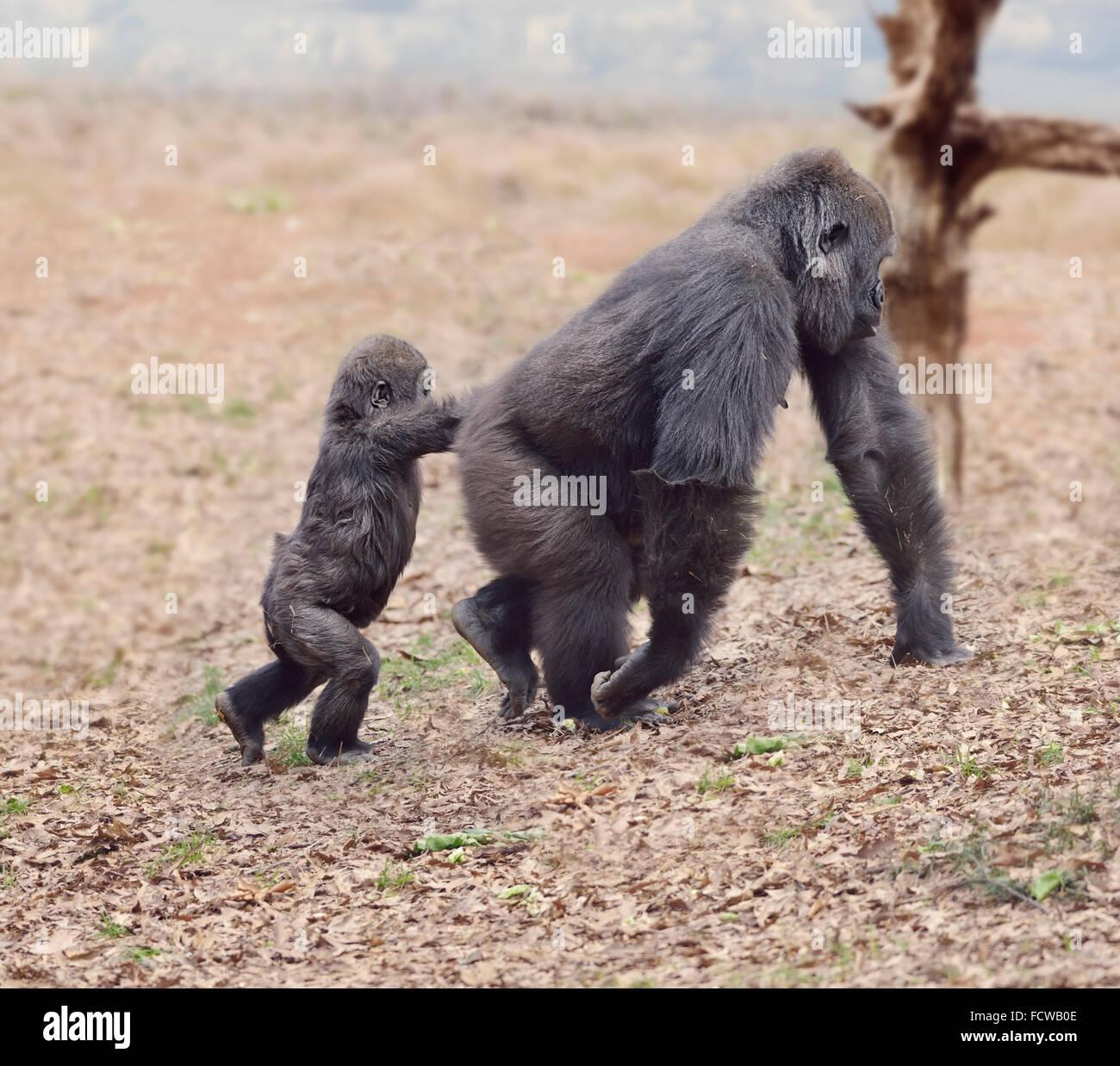 Femelle gorille avec son bébé marcher Photo Stock