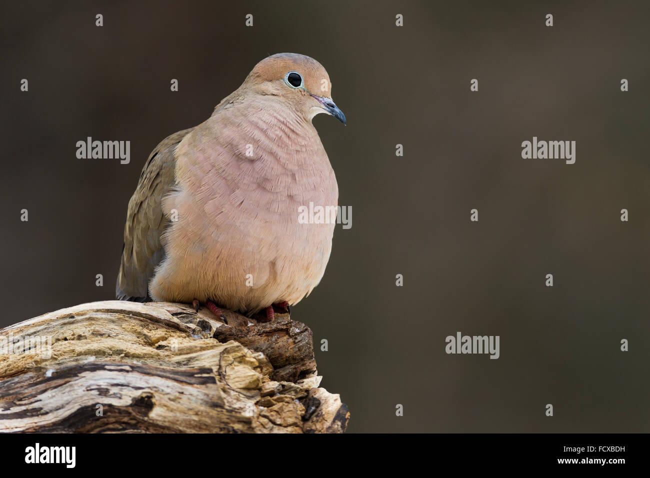 Une tourterelle triste perché sur un journal Photo Stock