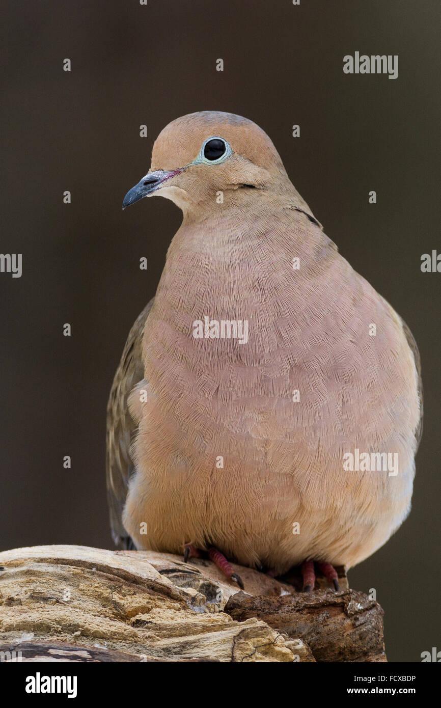 Une tourterelle triste perché sur un journal. Photo Stock