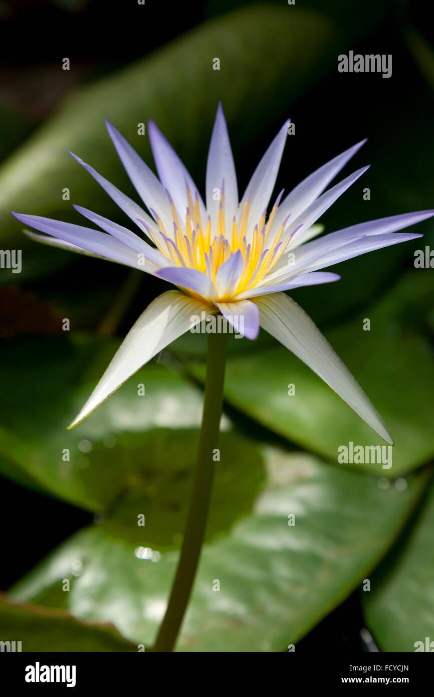 Fleur de nénuphar bleu Photo Stock