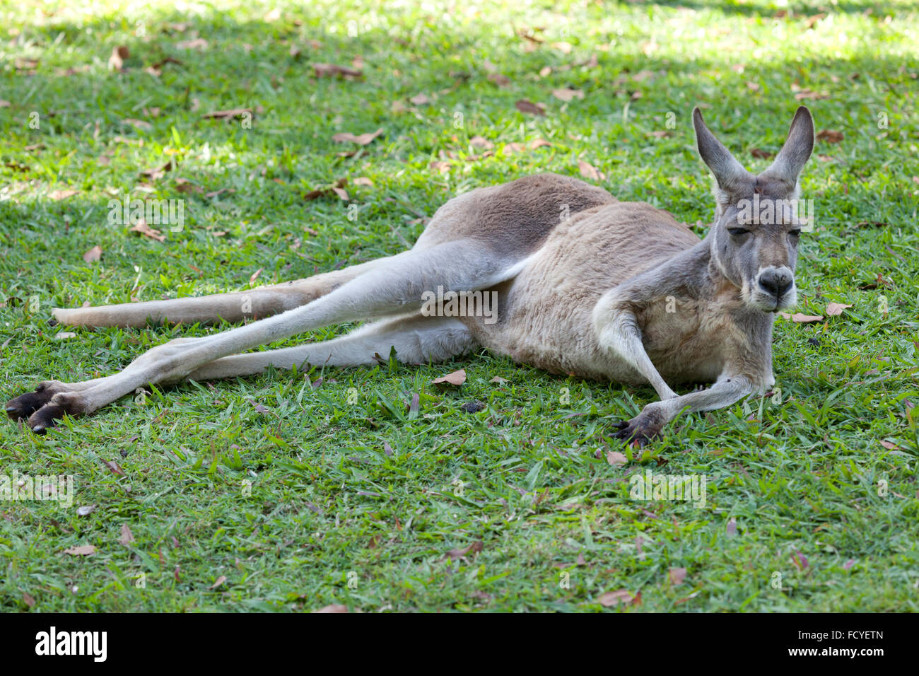 Kangourou rouge allongé dans l'herbe, Queensland, Australie Photo Stock