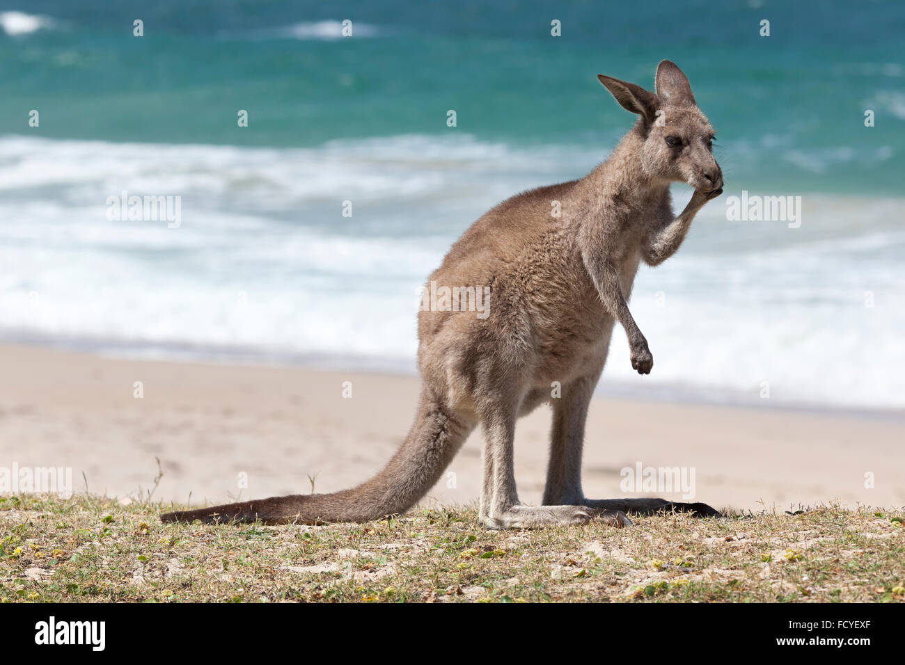 Kangourou rouge sur la plage, Depot Beach, New South Wales, Australie Photo Stock