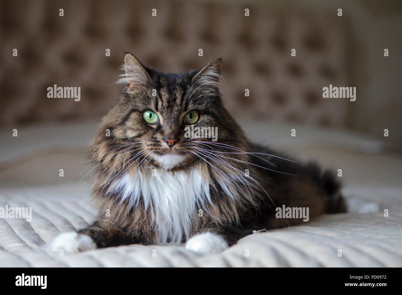 Chat à poils longs sur le lit Banque D'Images