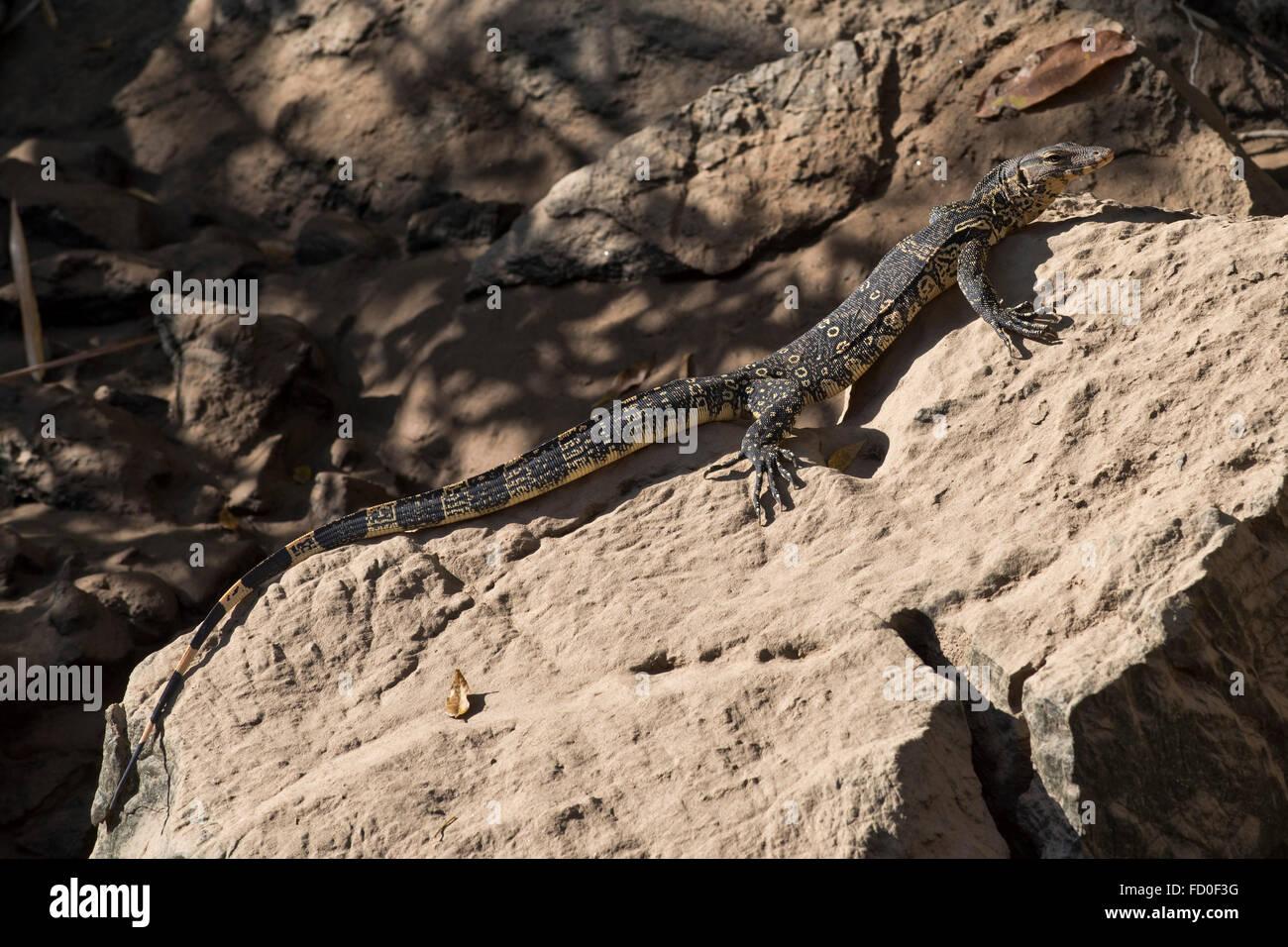 Jeune asiatique l'eau l'eau, varan Varanus salvator, se prélassant sur un rocher sur la rive de la Photo Stock