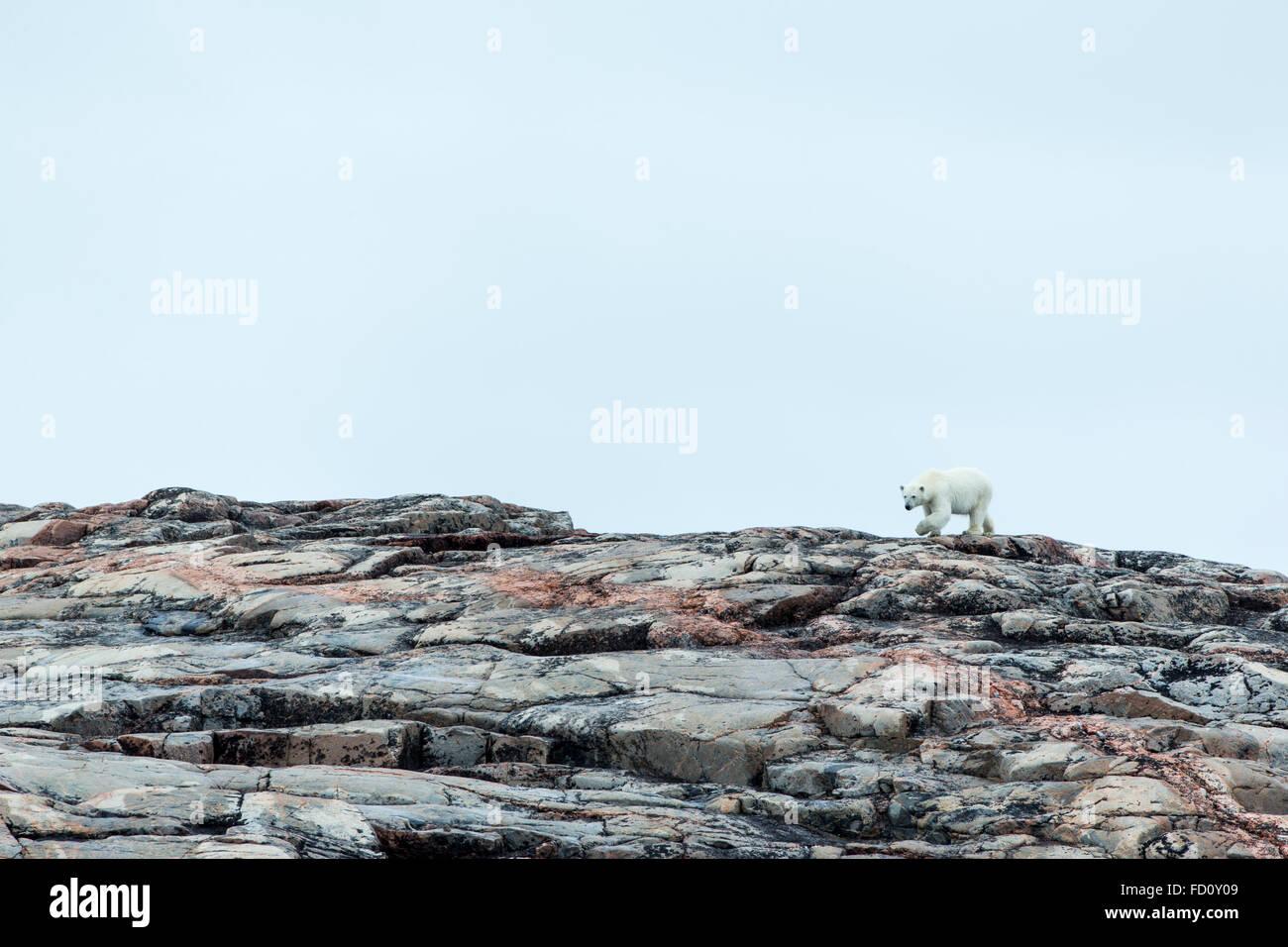 Le Canada, le territoire du Nunavut, Repulse Bay, l'ours polaire (Ursus maritimus) marche sur une colline rocheuse Photo Stock
