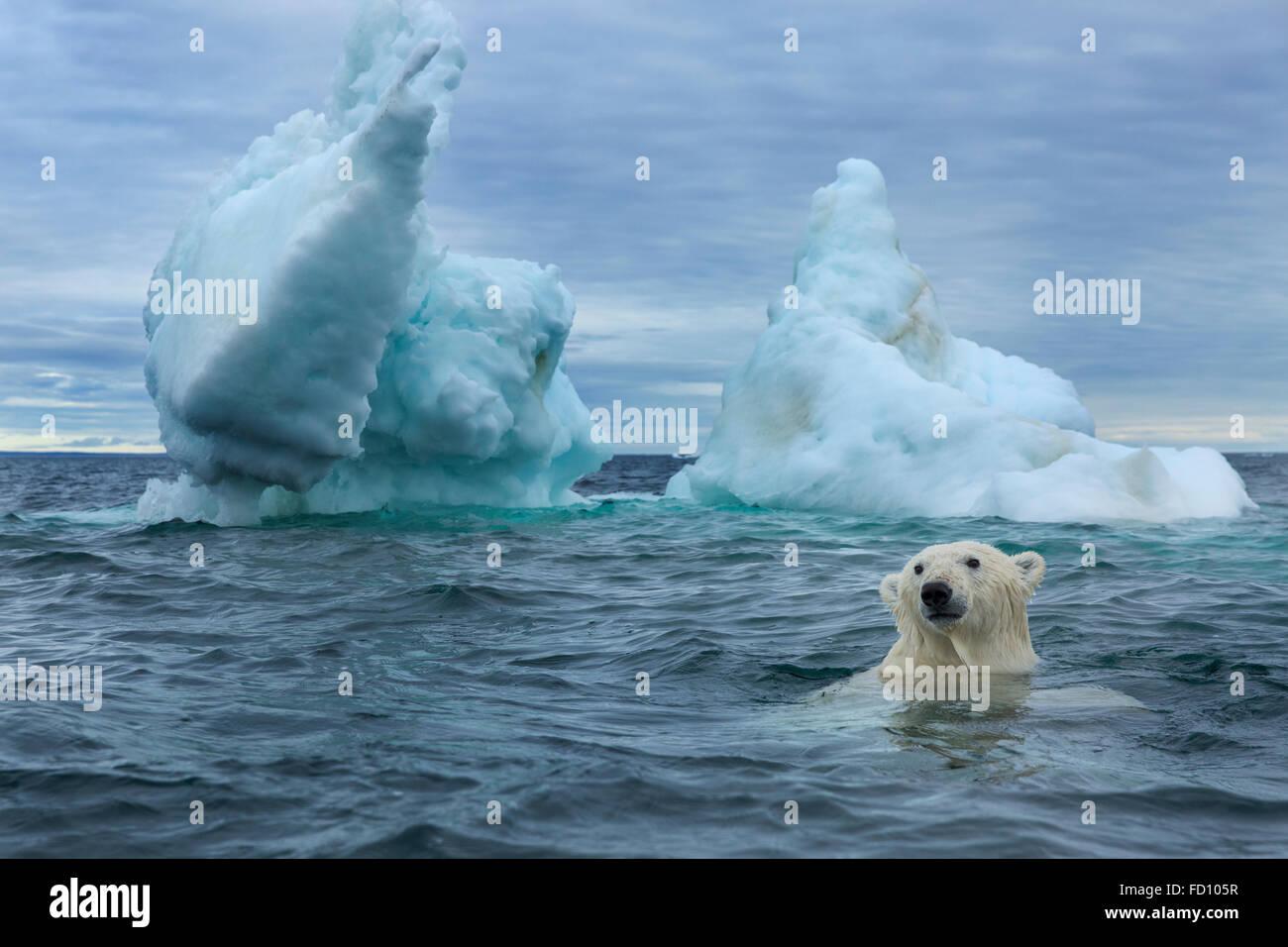 Le Canada, le territoire du Nunavut, sous-vue de l'ours polaire (Ursus maritimus) Nager près du cercle Photo Stock
