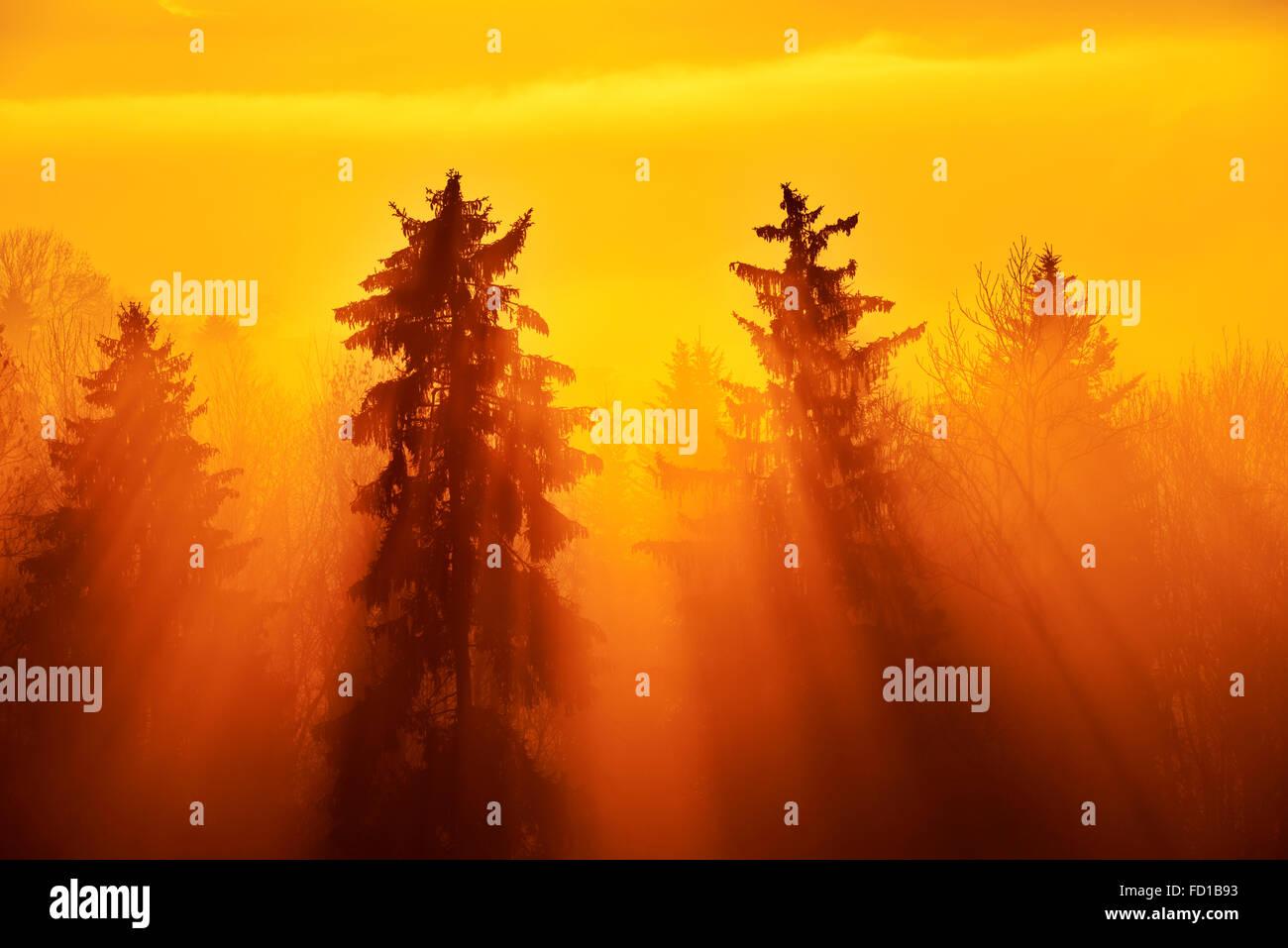 Les rayons du soleil brillant à travers une forêt d'épinettes brumeux, canton de Zoug, Suisse Photo Stock