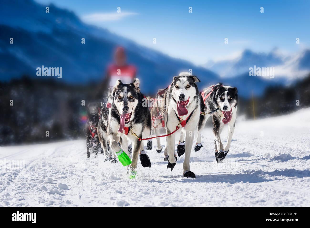 L'équipe de chien sportif est en marche dans la neige Photo Stock