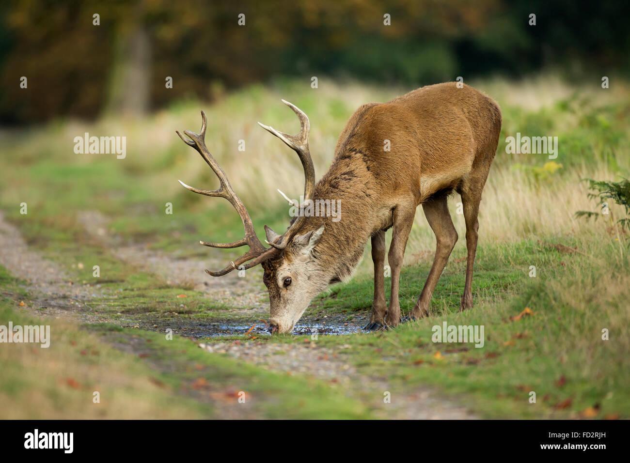 Red Deer (Cervus elaphus) stag boire d'une flaque d'eau durant la saison des amours Photo Stock