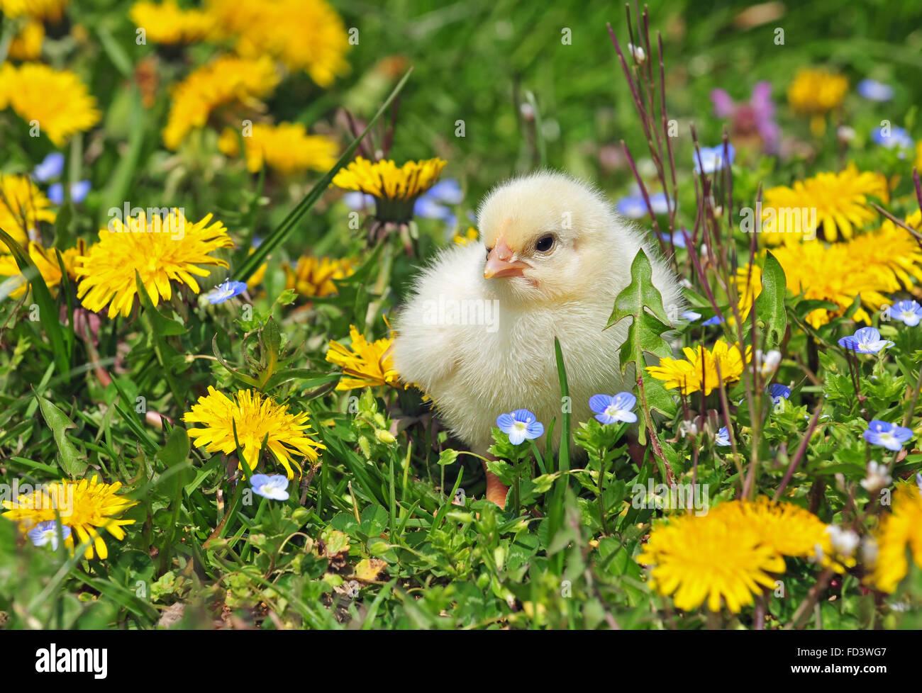 Jeune poulet dans une herbe Photo Stock