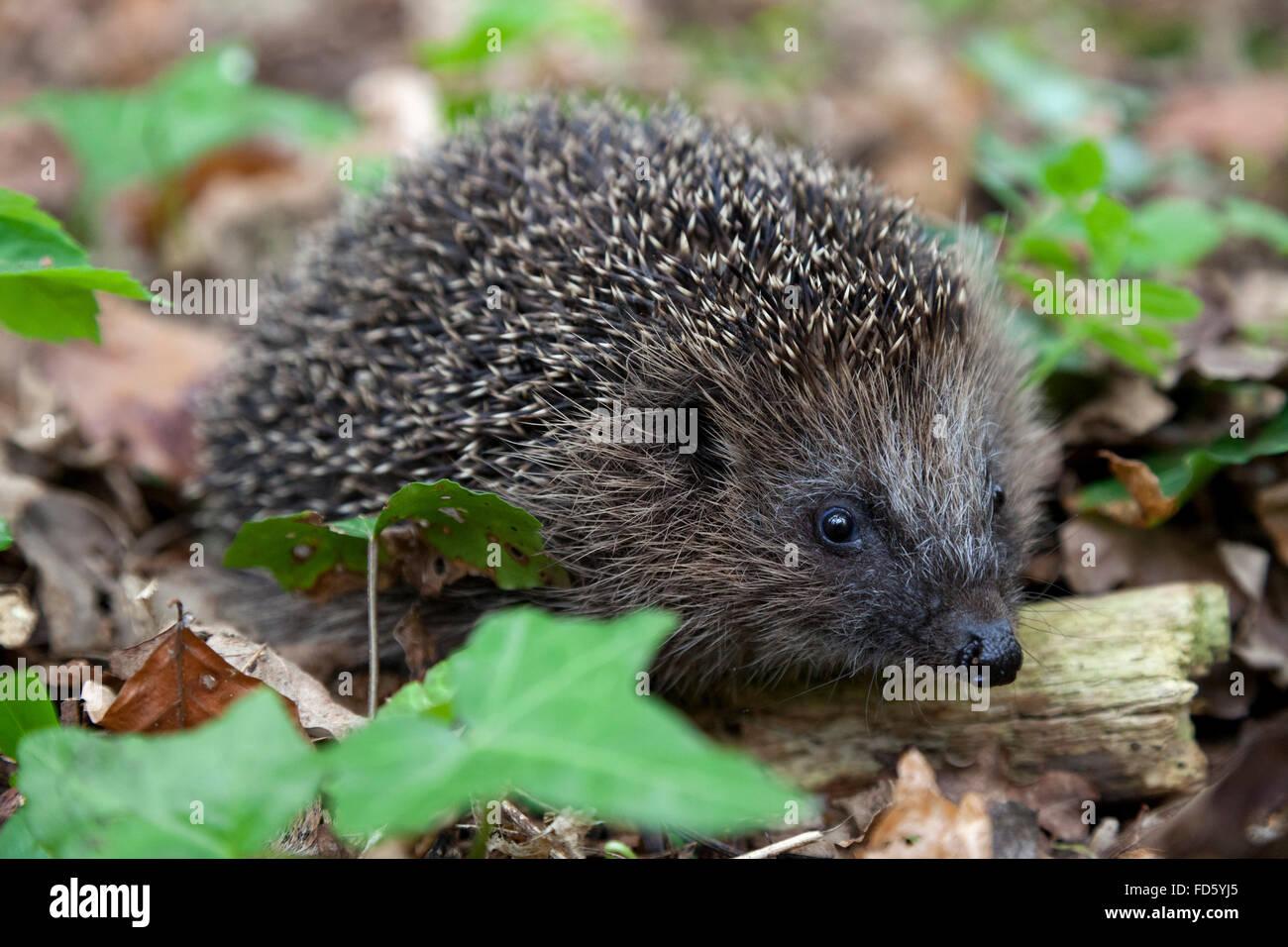 Hedge hog dans les bois Photo Stock