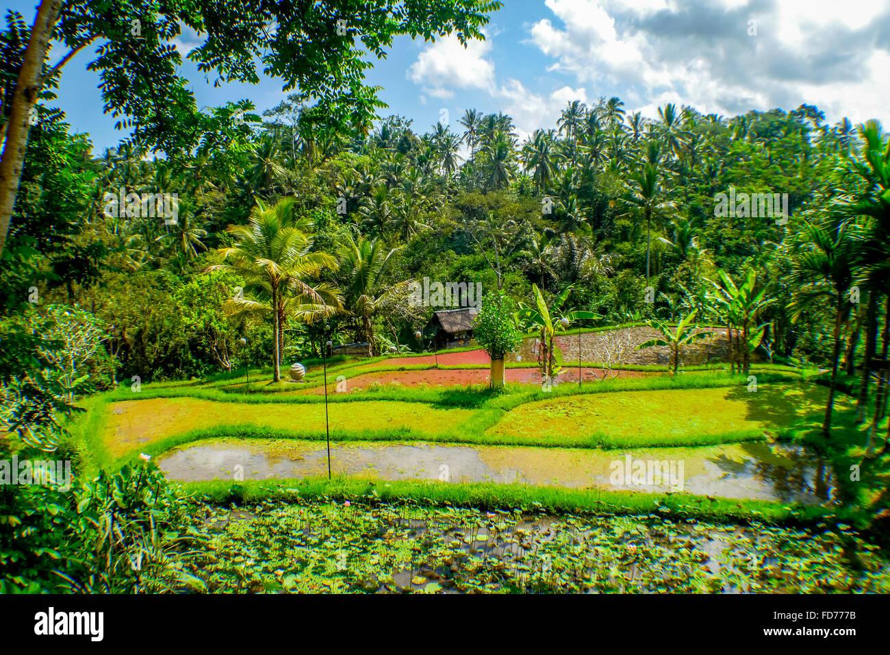 Rizières en terrasse avec des palmiers, de l'agriculture, paysage, Ubud, Bali, Indonésie, Asie Photo Stock