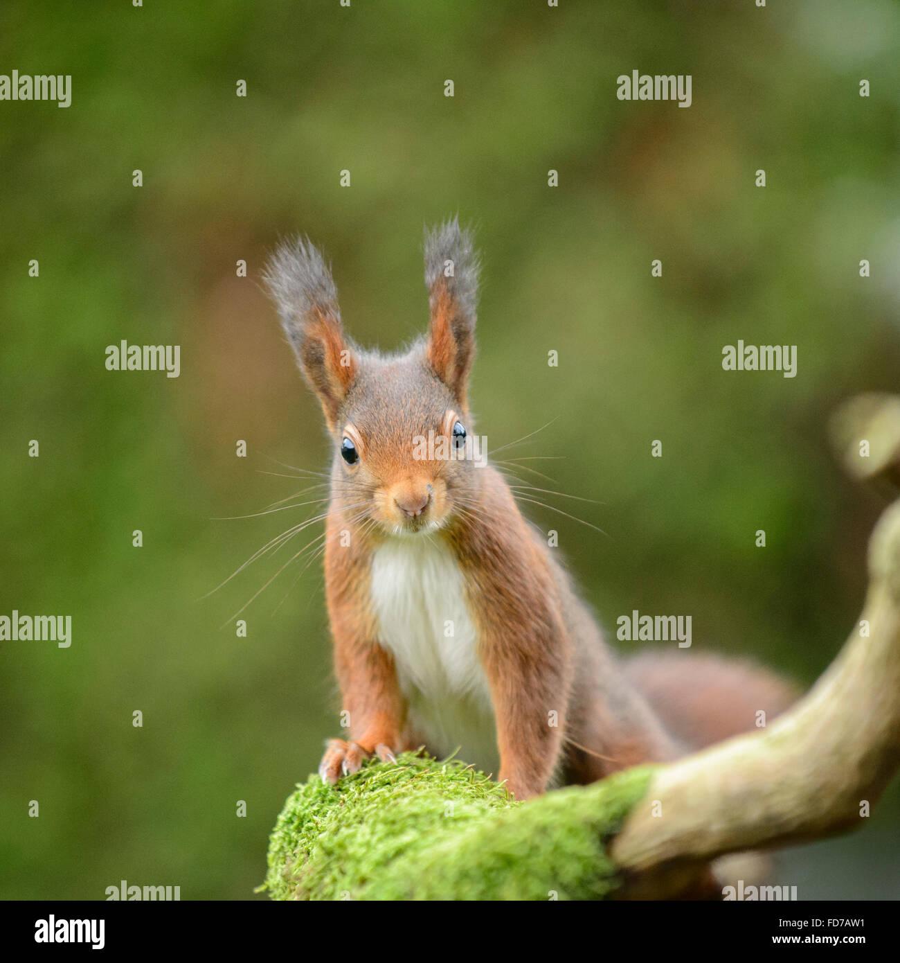 Écureuil rouge avec de grandes touffes d'oreille Photo Stock