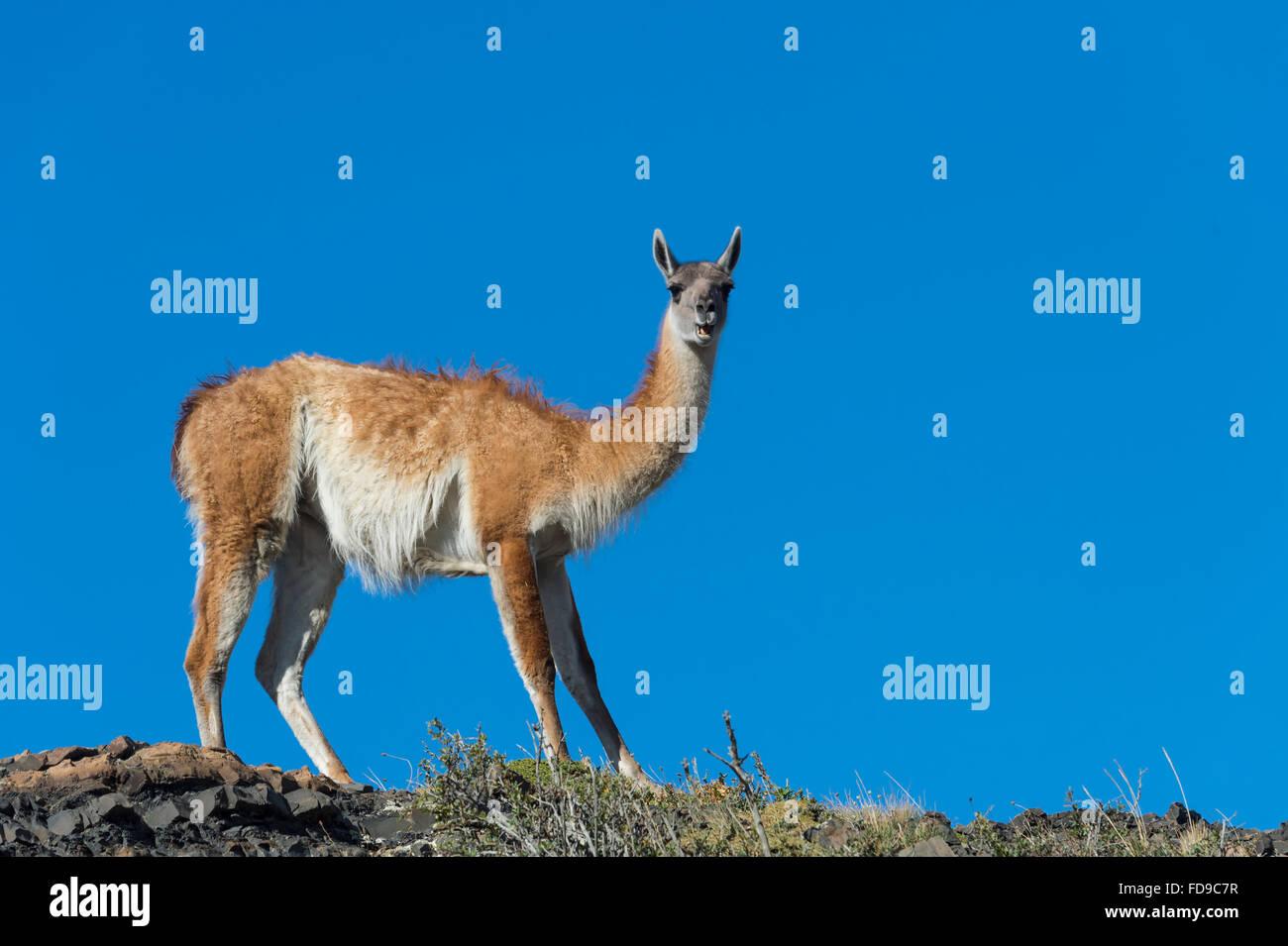 Guanaco (Lama guanicoe) sur une crête, le Parc National Torres del Paine, Patagonie chilienne, Chili Banque D'Images