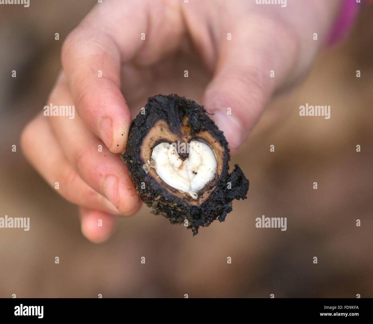Cropped Hand Holding Heart Shape Châtaigne d'eau Banque D'Images