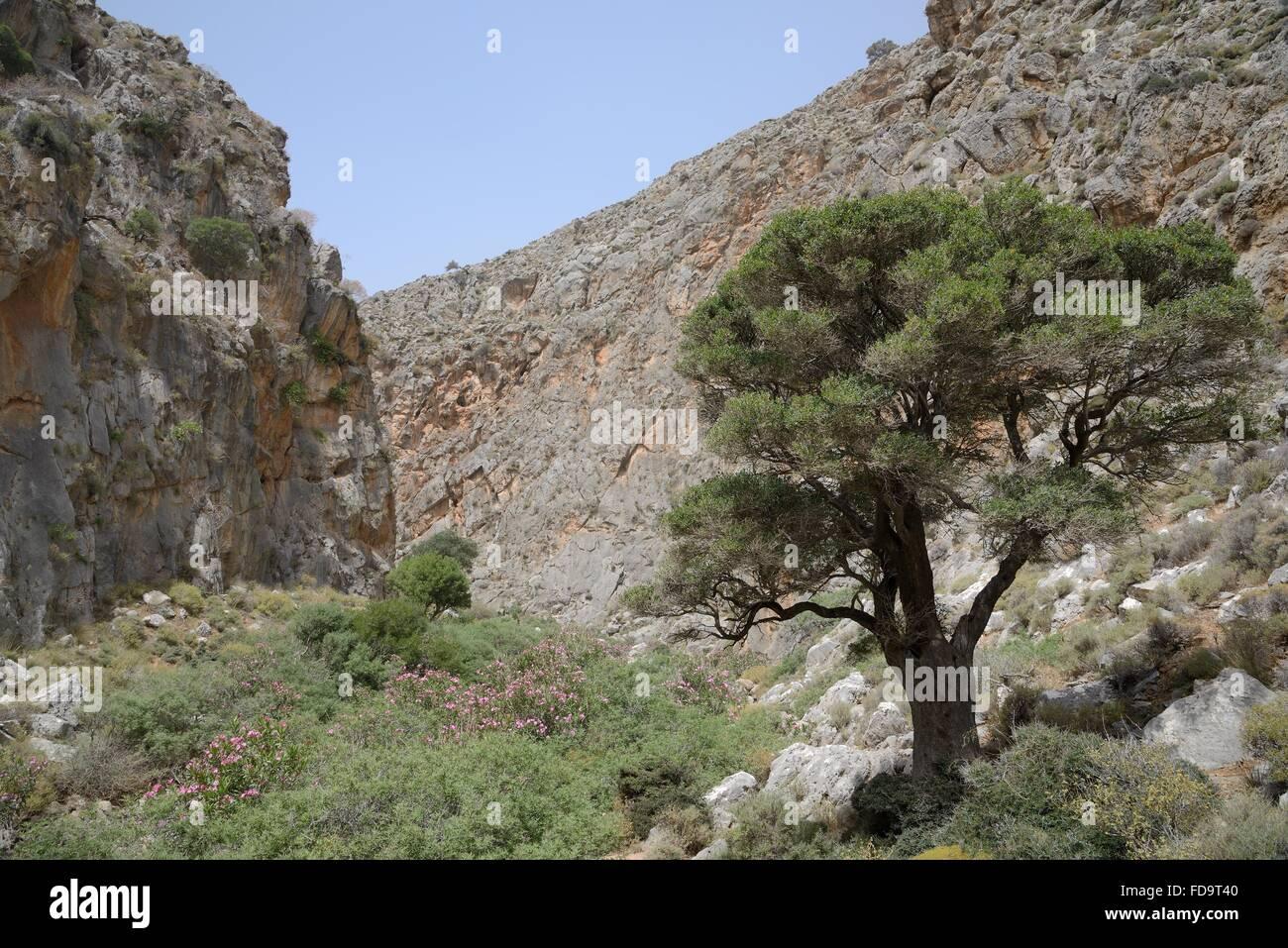 Vieil olivier (Olea europaea) et la floraison de lauriers ...