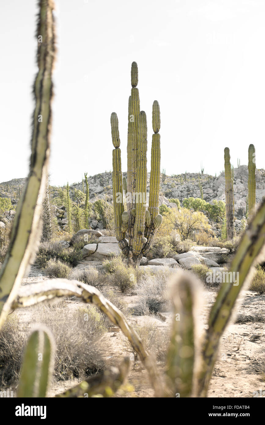 Cactus en Basse Californie, Mexique Photo Stock
