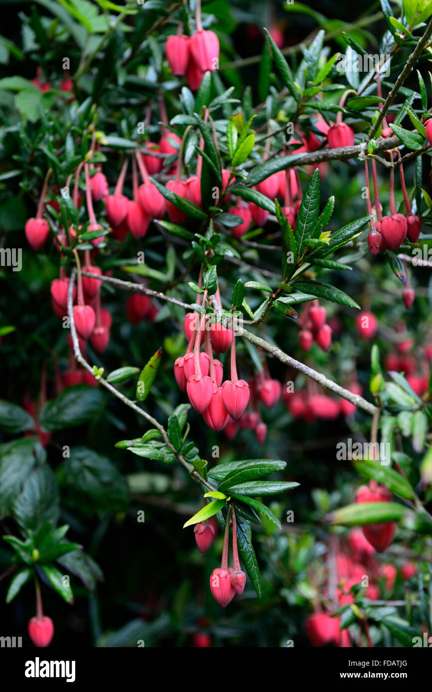 Crinodendron Hookerianum Lanterne Chinoise Rouge Arbre Arbuste Arbre