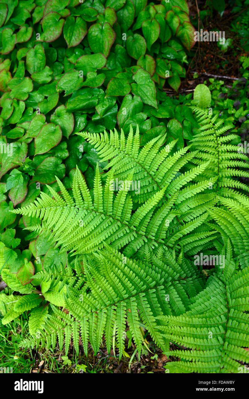 L'épimède Dryopteris filix-mas feuilles vert ombragé ombragé à l'ombre d'ensemencement Photo Stock