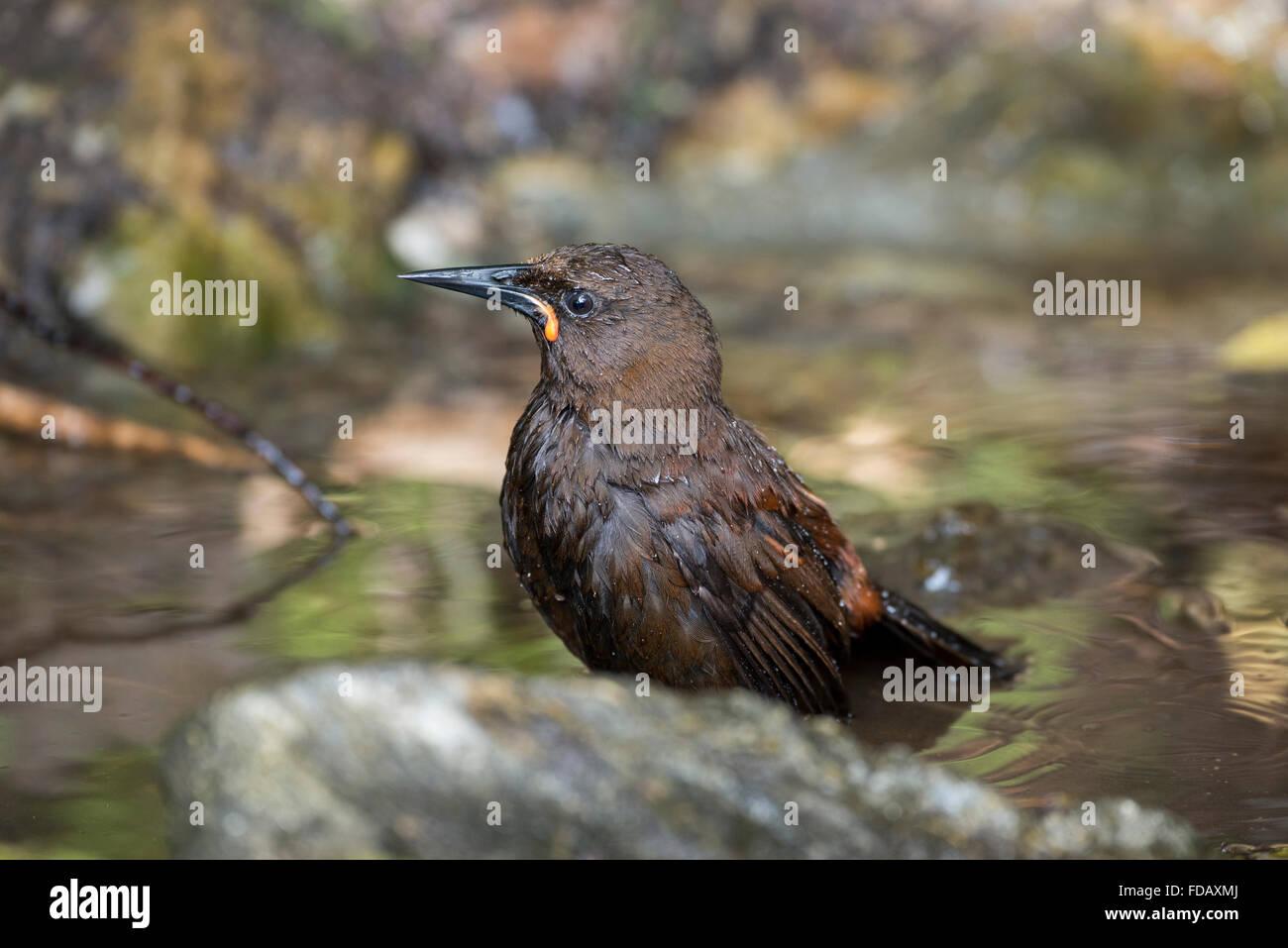 La NOUVELLE ZELANDE, Marlborough Sounds, Motuara Island aka Motu Ara. Sans prédateurs des oiseaux de l'île. L'île du Sud femelle saddleback. Banque D'Images