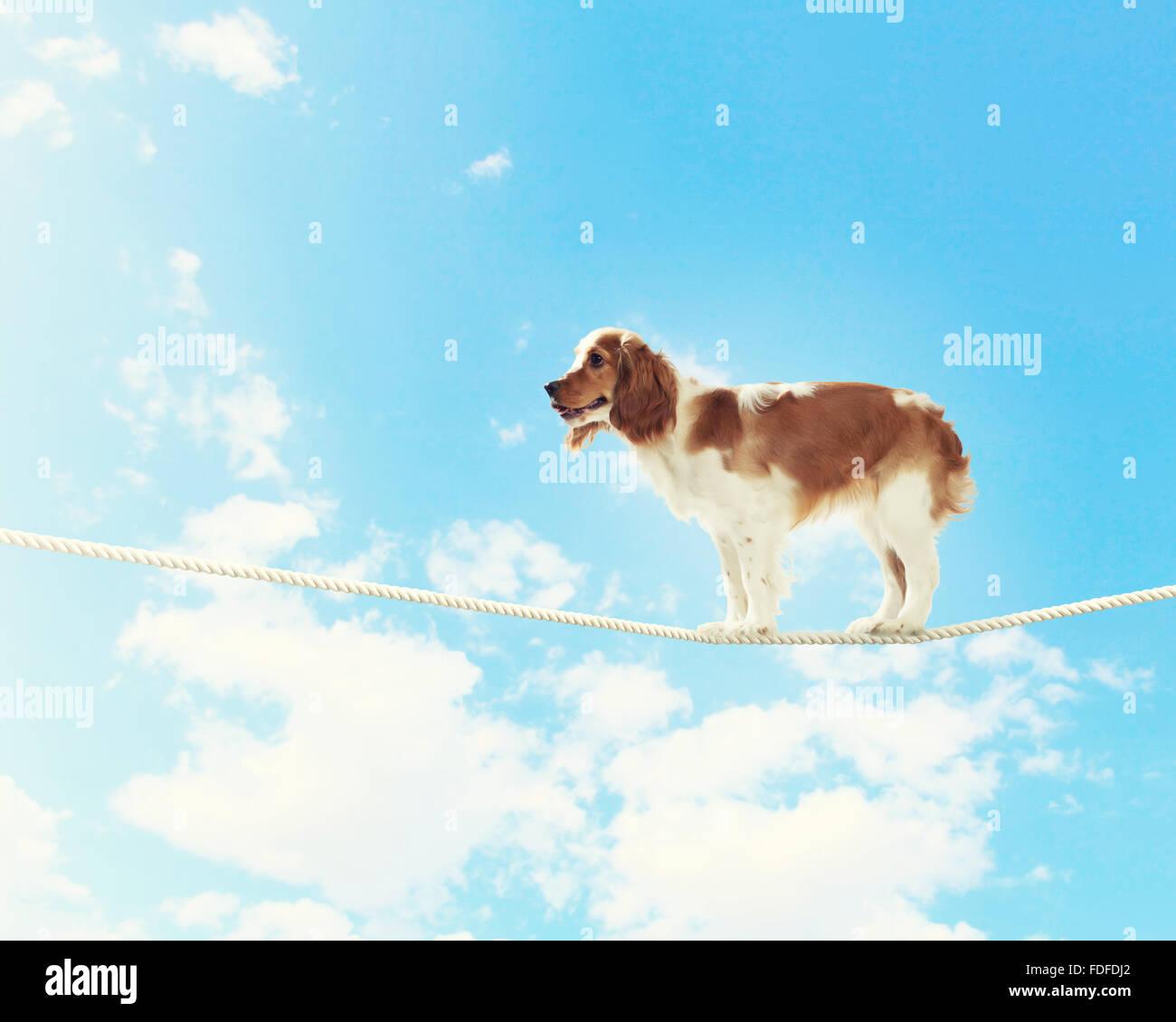 Image de spaniel chien équilibre sur corde Photo Stock