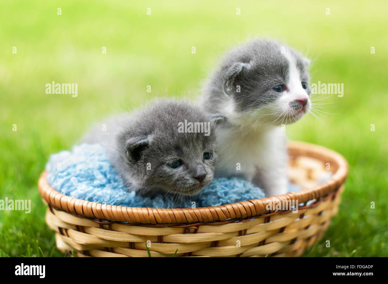 Deux chatons gris et blanc dans un panier Photo Stock