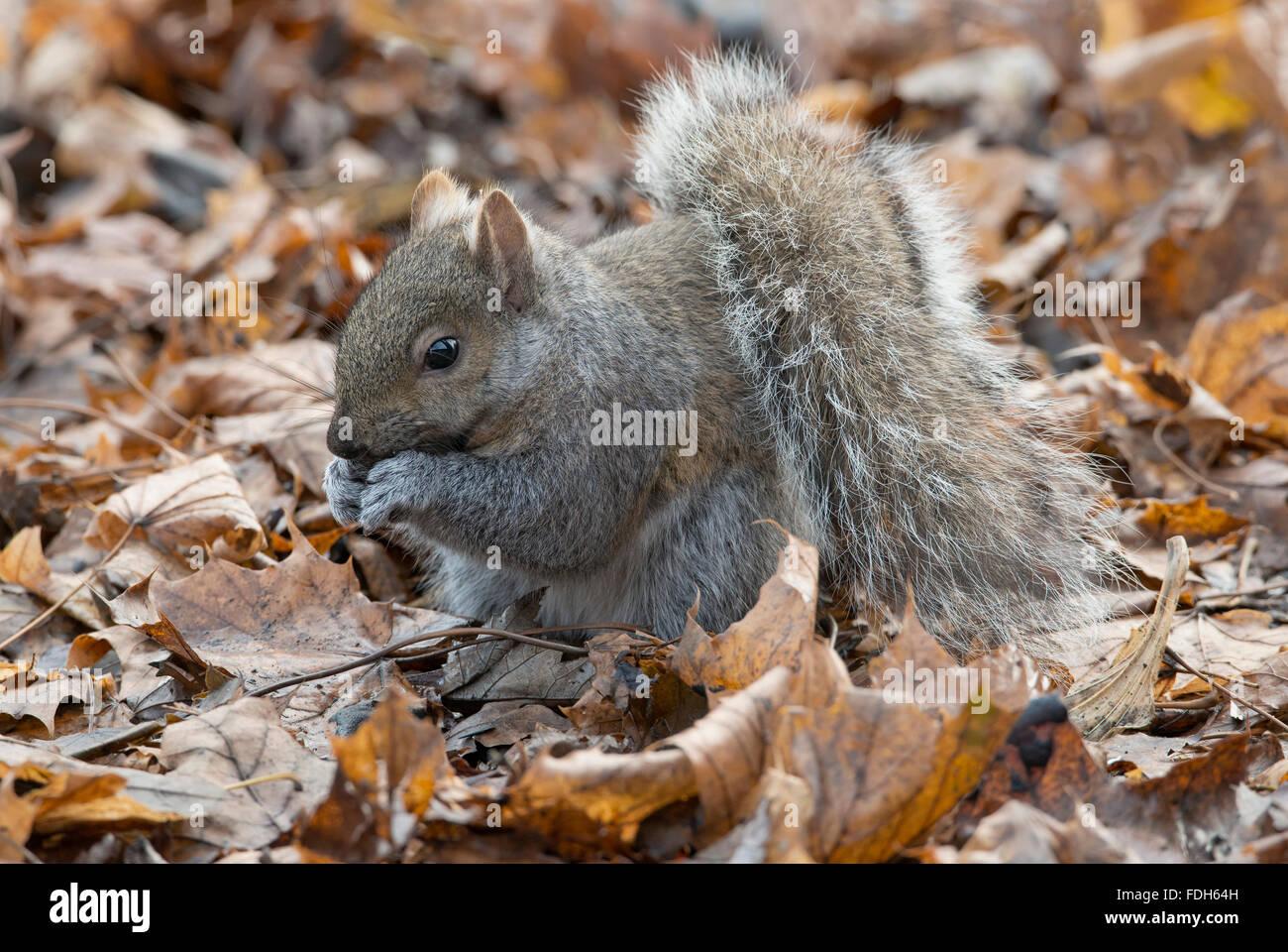 L'Écureuil gris (Sciurus carolinensis) sur le sol de la forêt, manger des noix, Automne, E Amérique Photo Stock